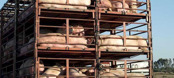 Nova ferramenta ajuda a monitorar o bem-estar de suínos durante o transporte