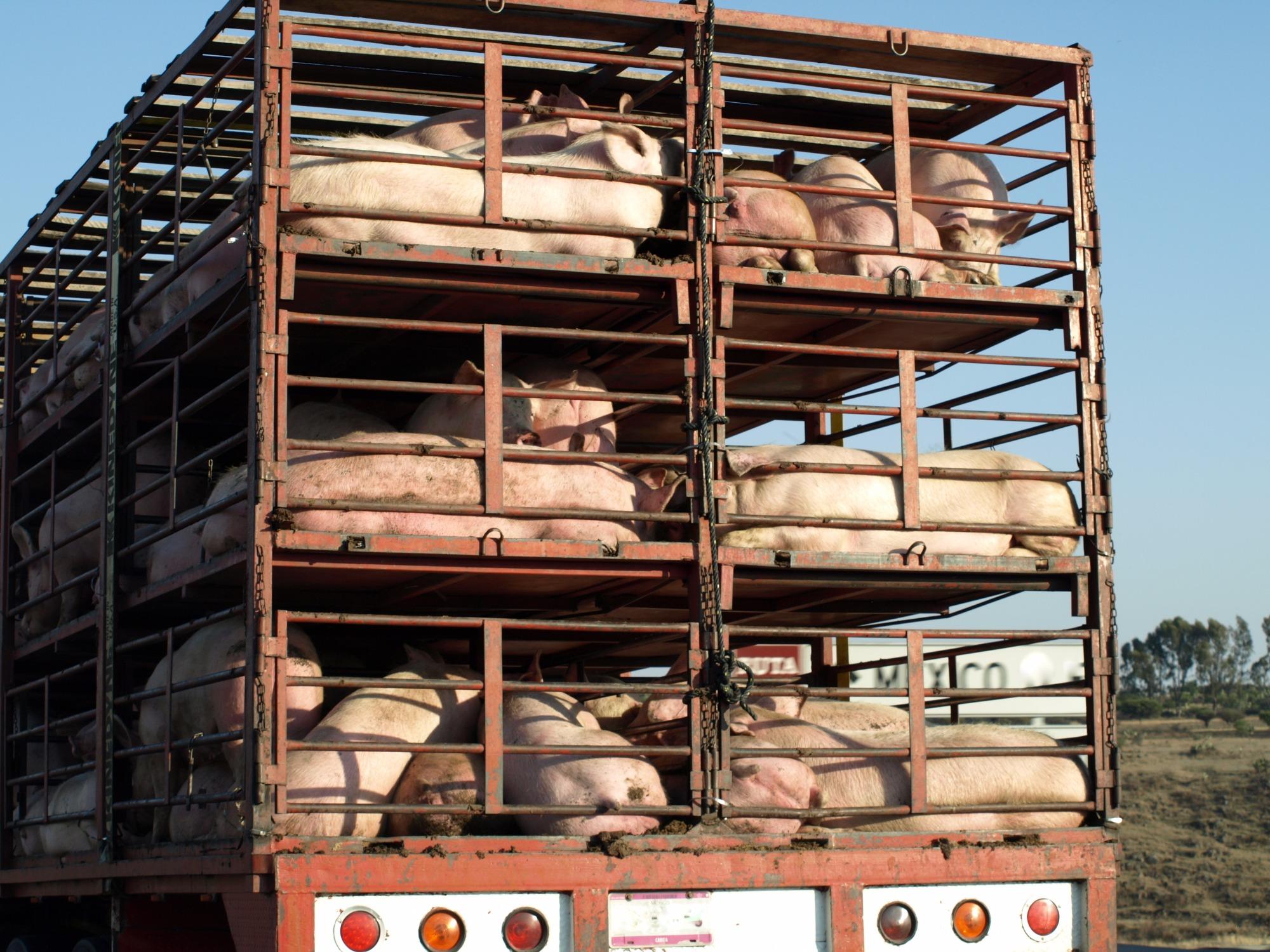 China flexibiliza proibição de transporte de suínos para garantir oferta