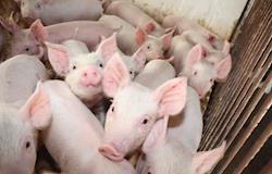 Embrapa lança nova versão de app para diagnóstico laboratorial de doenças suína