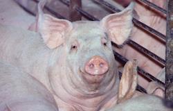 Importação de sêmen suíno no Mercosul tem novas regras