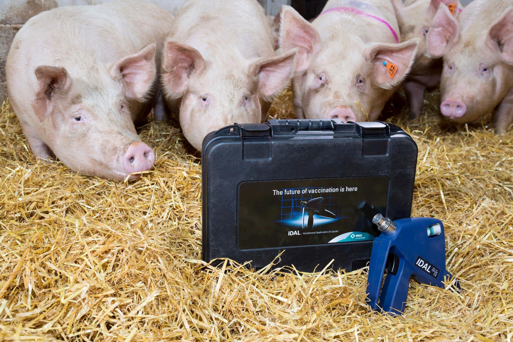 Vacinação intradérmica sem agulha para suínos chega ao Brasil , Vacinação intradérmica sem agulha para suínos chega ao Brasil