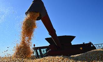 Cepea aponta: vendedor retraído e demanda ativa mantém valores do milho em alta