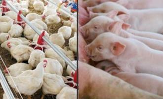 Custo de produção de suínos e aves sobe em novembro