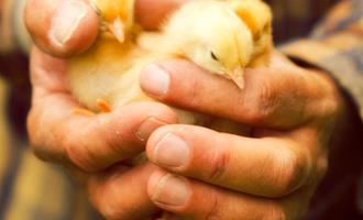 Na luta por sustentabilidade, avicultores buscam negociação com indústria