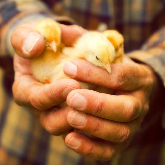 Cidade do Piaui distribui pintainhos para fomentar produção de aves