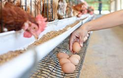BRF deve eliminar uso de ovos de galinhas confinadas em gaiolas até 2025