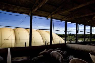 Biogás da suinocultura, onde não podemos errar mais
