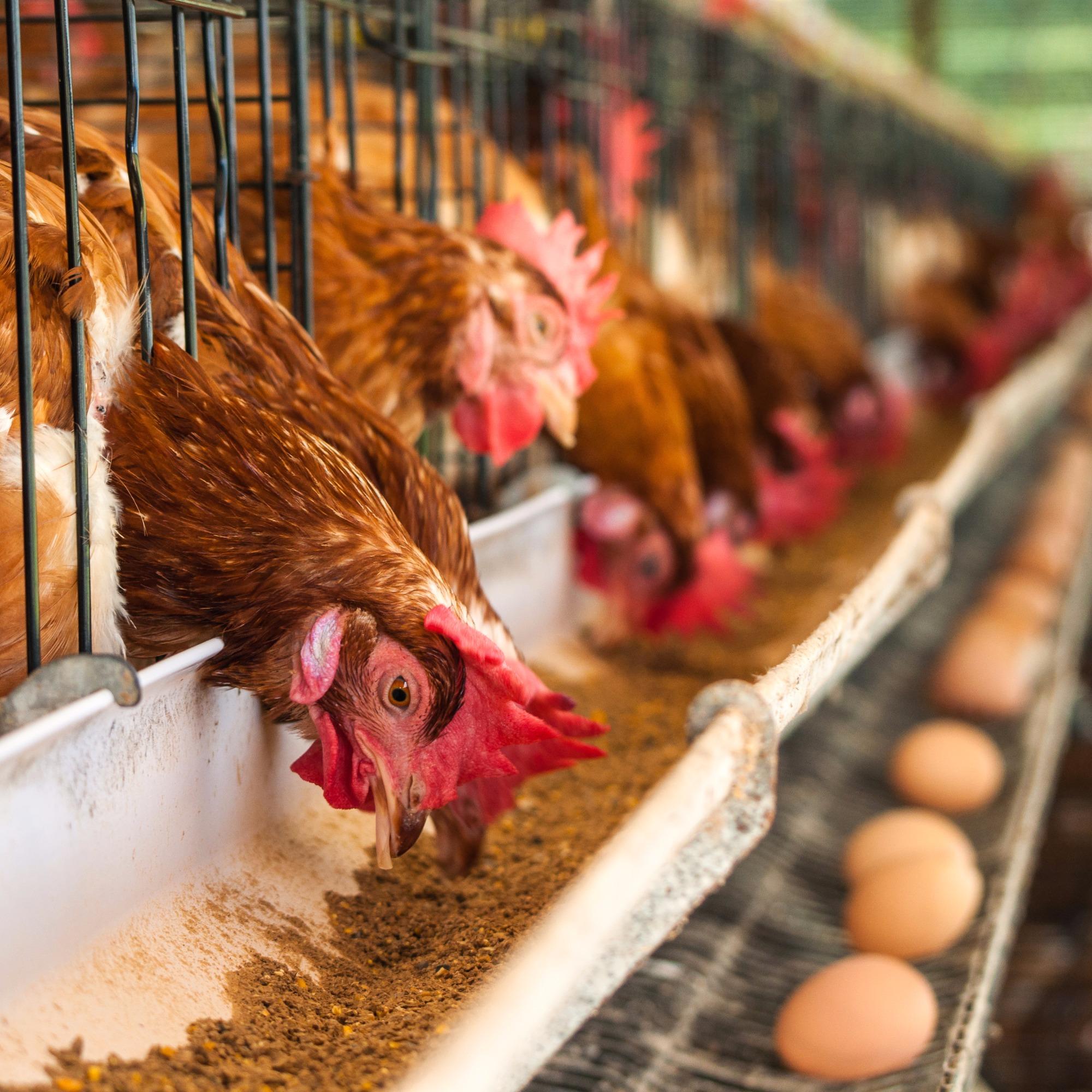 Telamento de aviários é obrigatório e promove benefícios a criação