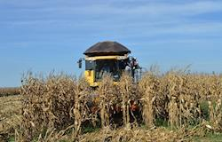 Preços do milho seguem firmes mesmo com avanço da colheita