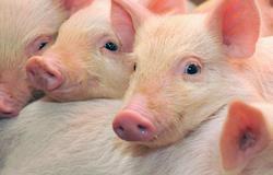 Cientistas chineses criam porcos com 24% a menos de gordura