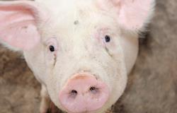 Preços do animal vivo voltam a subir nesta semana