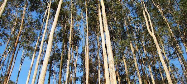 Mato Grosso do Sul terá termelétrica que funcionará com biomassa de eucalipto