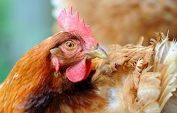 """Cientistas criam """"aviário congelado"""" para preservar genética de galinhas raras"""