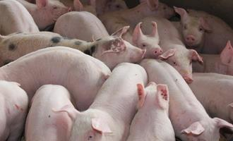 Demanda cai e afeta preços pagos por suínos