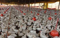 Embrapa valida técnica que inativa vírus na cama de frango reutilizada