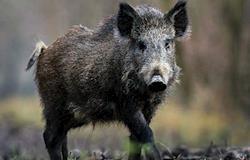 Para prevenir casos de H1N1, alemães organizam caça a javalis