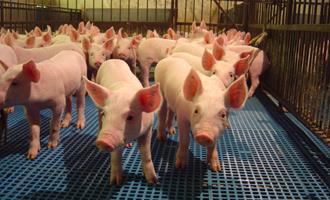 Produção de suínos na China deverá estar totalmente recuperada no primeiro semestre de 2021