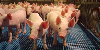 Preço do suíno vivo sobe em vários estados