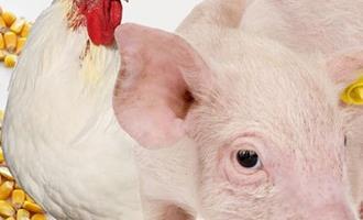 México se destaca mundialmente como produtor de proteína animal
