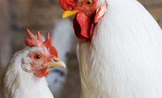 Produção de aves livres de antibióticos e segurança alimentar