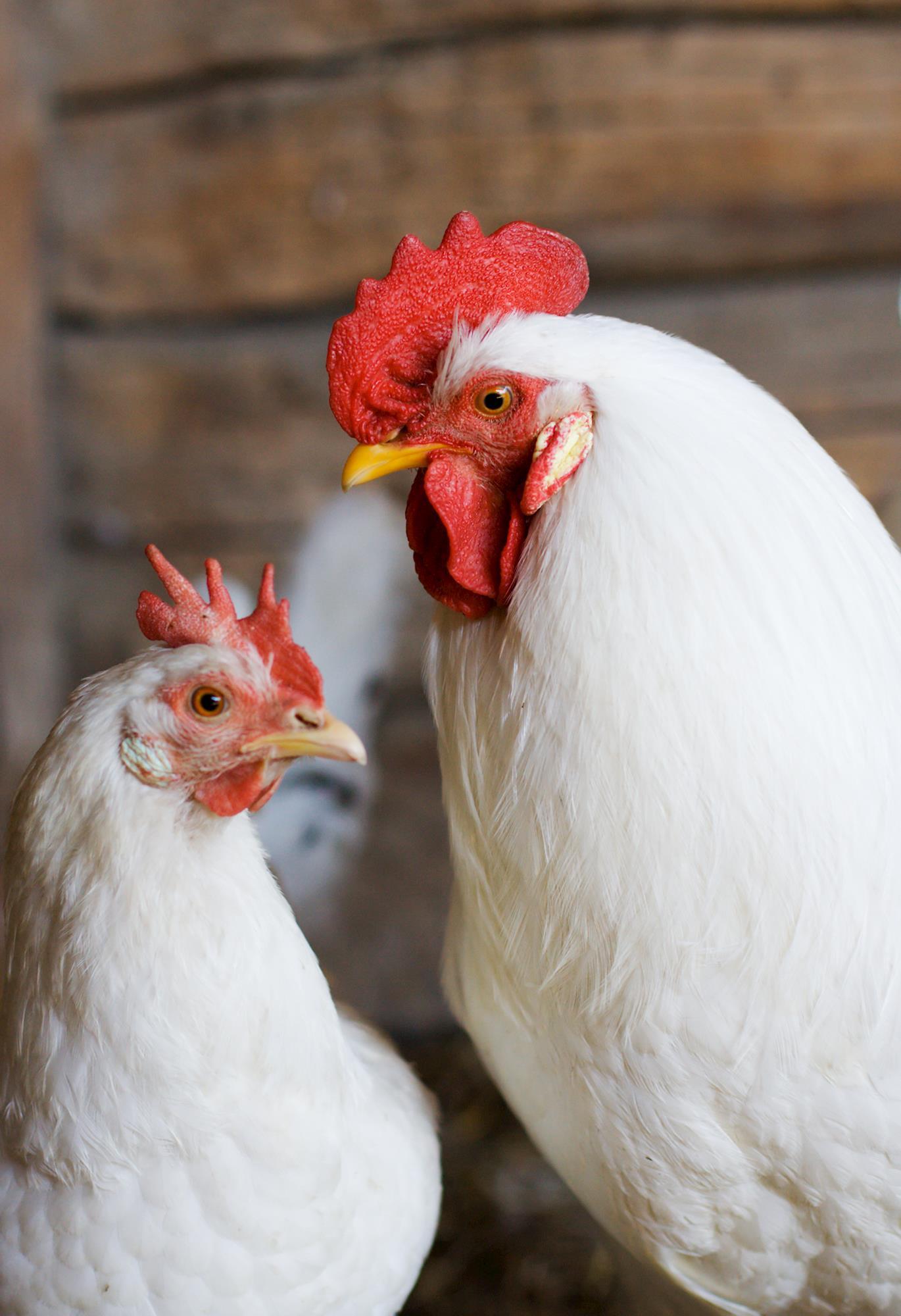 O novo cenário avícola frente a redução no uso de promotores de crescimento