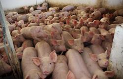 Instituto adota nova tecnologia em certificação para suínos