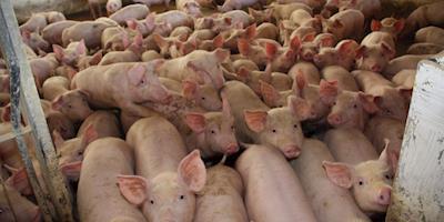 Novos recursos na economia beneficiam o consumo de suínos