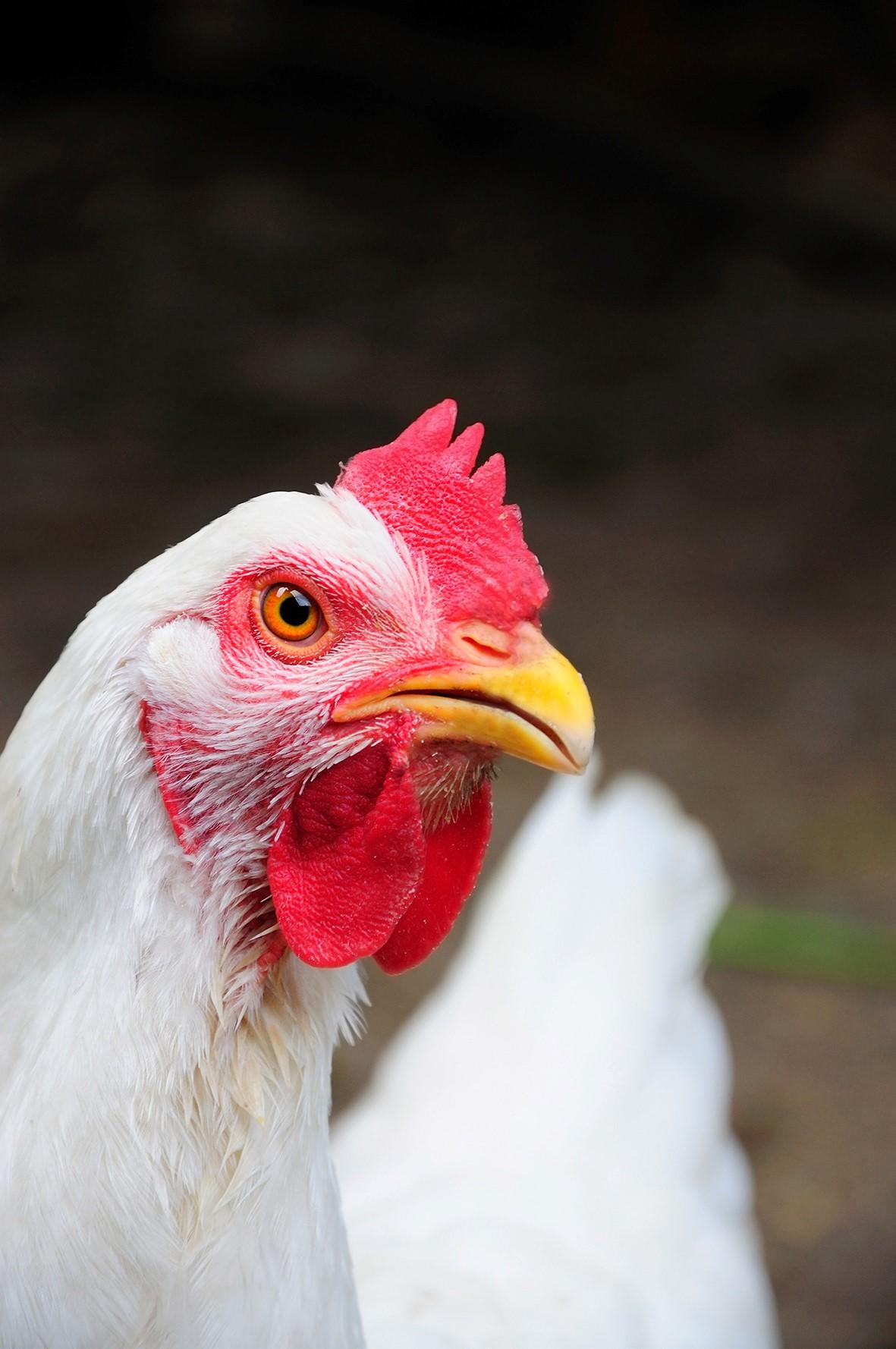 Micotoxinas em aves: prevalência e controle no período de verão - por Cristiane Sanfelice