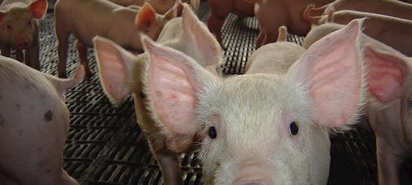 Terceiro caso de peste suína africana atinge a China