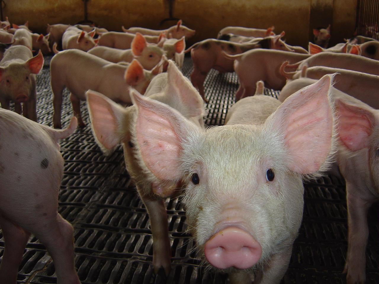 O eterno controle de roedores em galpões de suínos