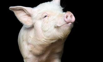 Estoque de carne suína dos EUA tem enorme declínio
