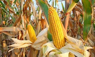 Clima mais favorável anima produtores de milho, aponta Cepea