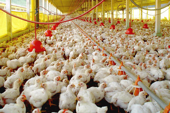 Produzir frango ficou mais caro em setembro, aponta Cias