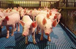 Porque uma boa fazenda de suínos não pode ficar sem tecnologia