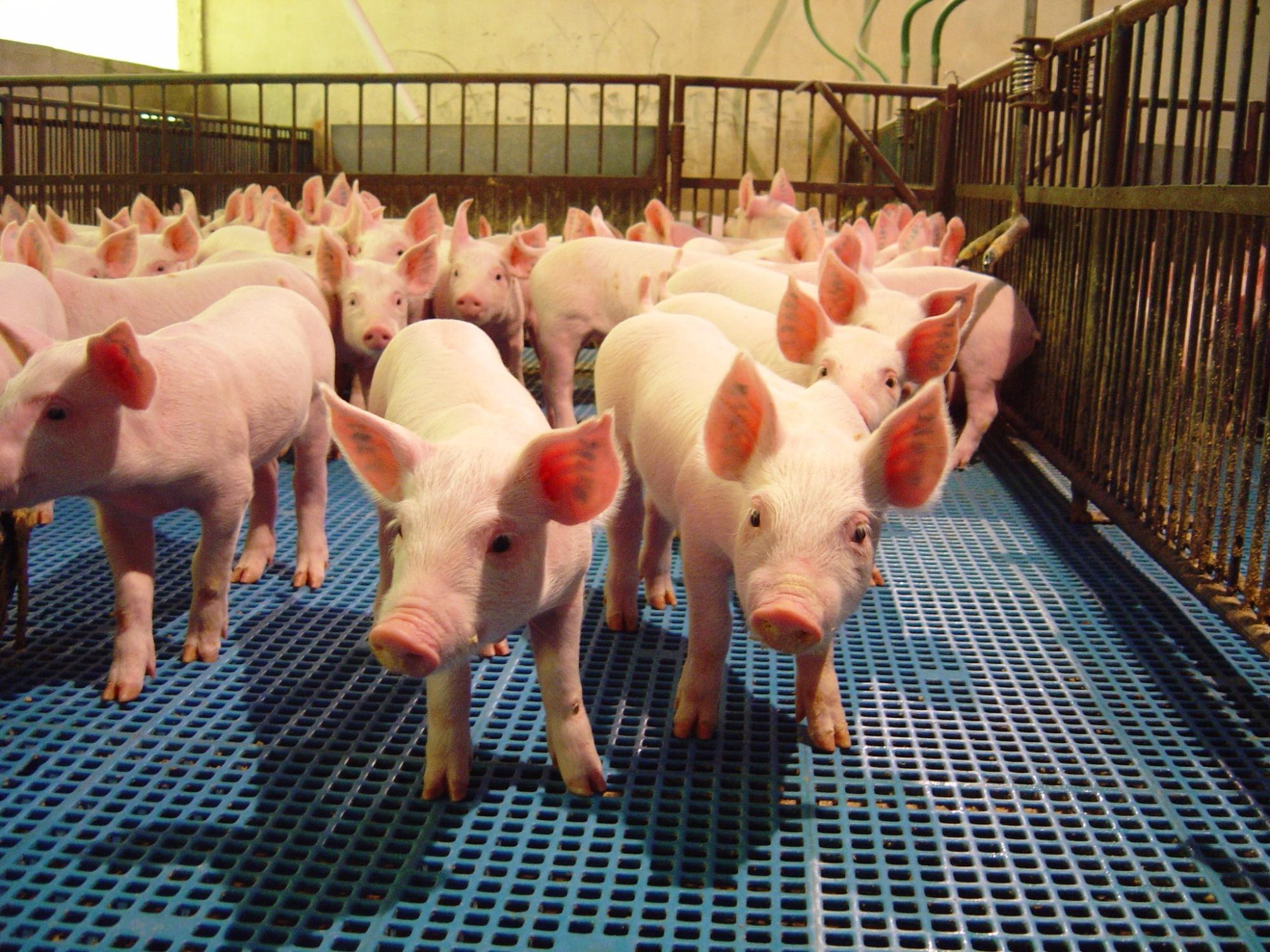 Exportações e custos menores podem garantir recuperação da suinocultura