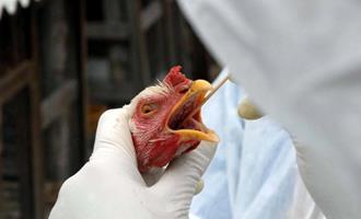 Egito reporta nova variante do vírus da gripe aviária