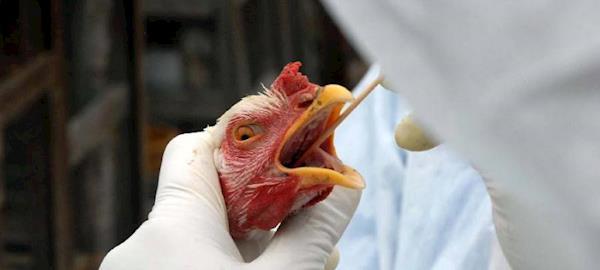 Casos de gripe aviária são reportados por Rússia, Taiwan e Vietnã