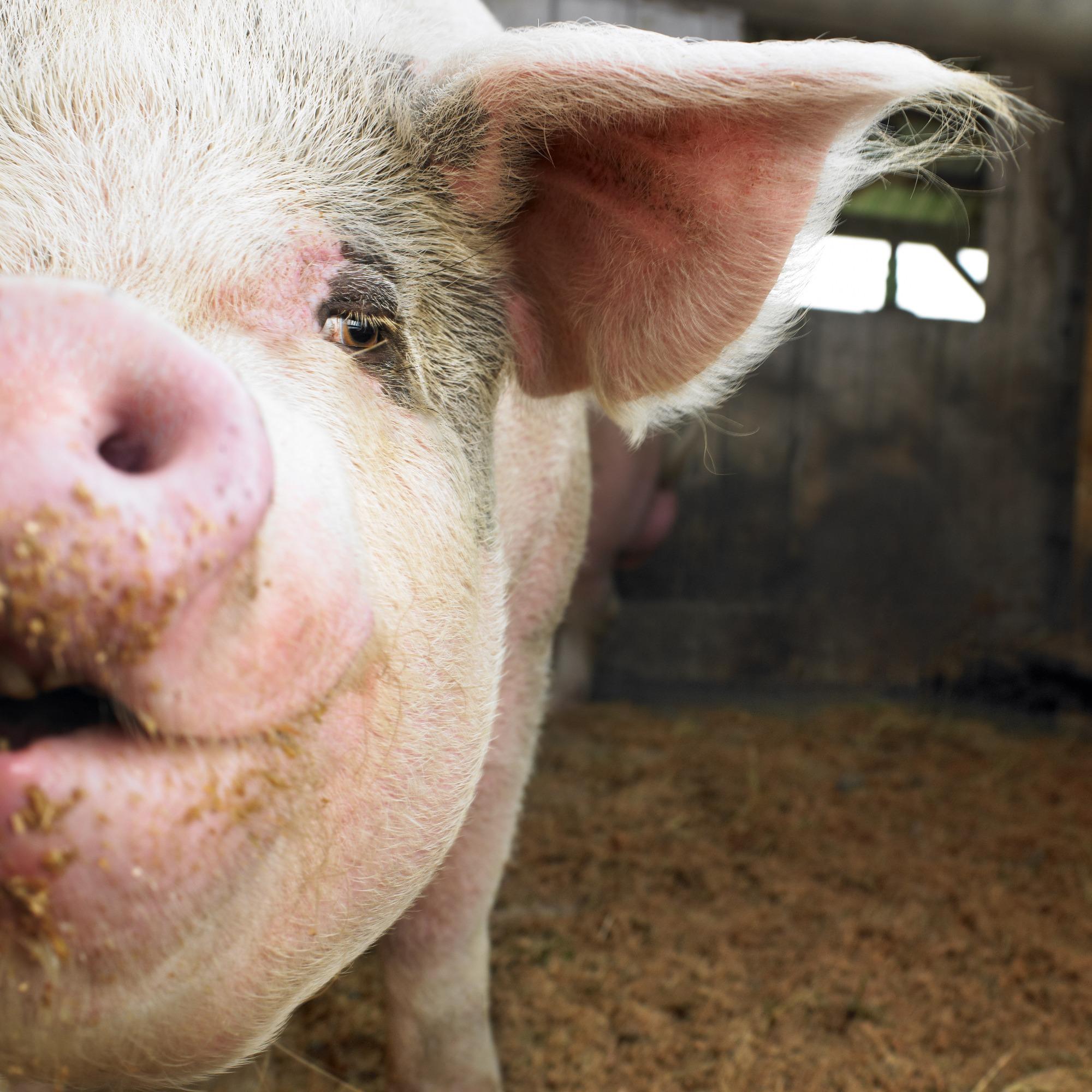 Após quedas, preços do suíno vivo se estabilizam nos estados