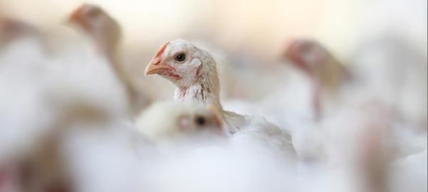 Saiba como aumentar a produção animal de frangos de corte