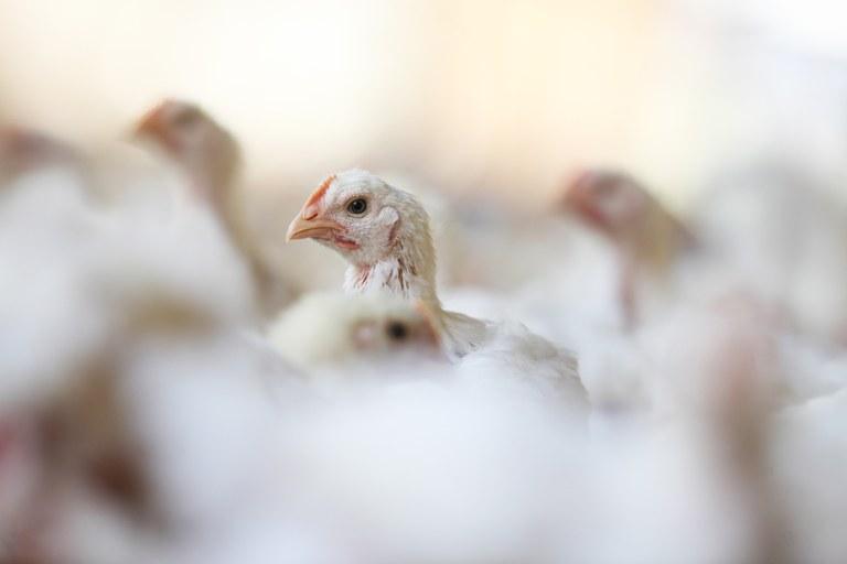 Zootecnia de precisão auxilia produtor a conduzir com melhor resultado práticas de bem-estar animal