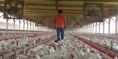 VBP do agro atinge R$ 1 tri em 2021; avicultura crescerá 22,5%