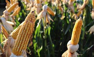 Possível escassez de milho na China gera preocupação com segurança alimentar