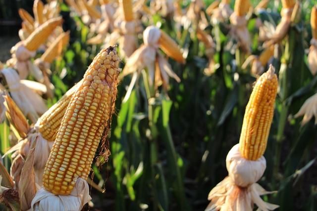 Preço do milho segue em queda com negociações em ritmo lento