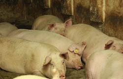 Peste Suina Africana e seu impacto no mercado global de carnes