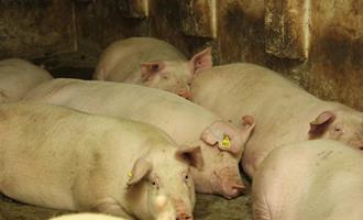 Em Minas, Goiás e Paraná, preço do suíno salta até 75,9%