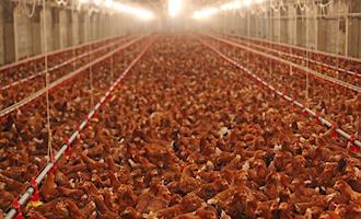 26 milhões de aves estão sem comida na Região do Café e Norte do Vale