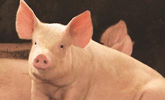 Recentes avanços relacionados à taxa de lotação e espaço de comedouro para suínos