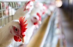 Granja investe no bem-estar das galinhas e produz 600 mil ovos por dia