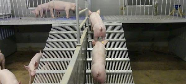 Países Baixos aprovam uso de segundo piso em granjas de terminação