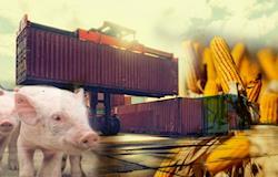 Vendas de carne suína para o mercado externo sustenta preço do animal vivo